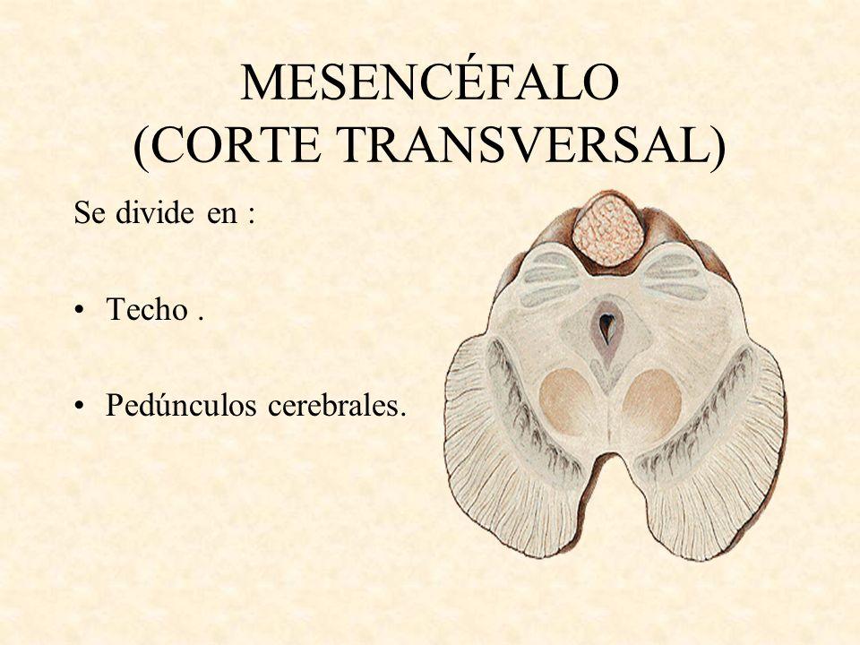 MESENCÉFALO (CORTE TRANSVERSAL)