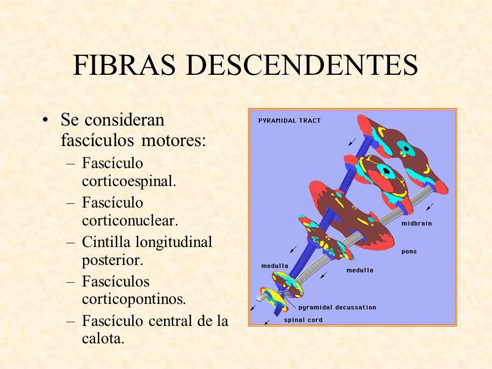 FIBRAS DESCENDENTES Se consideran fascículos motores: