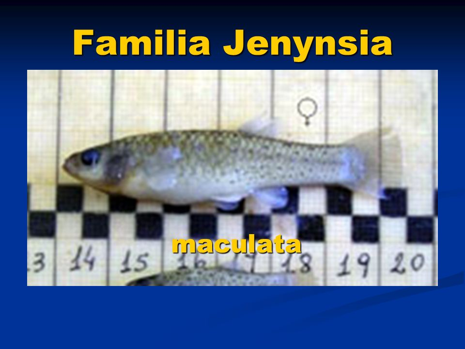 Familia Jenynsia maculata
