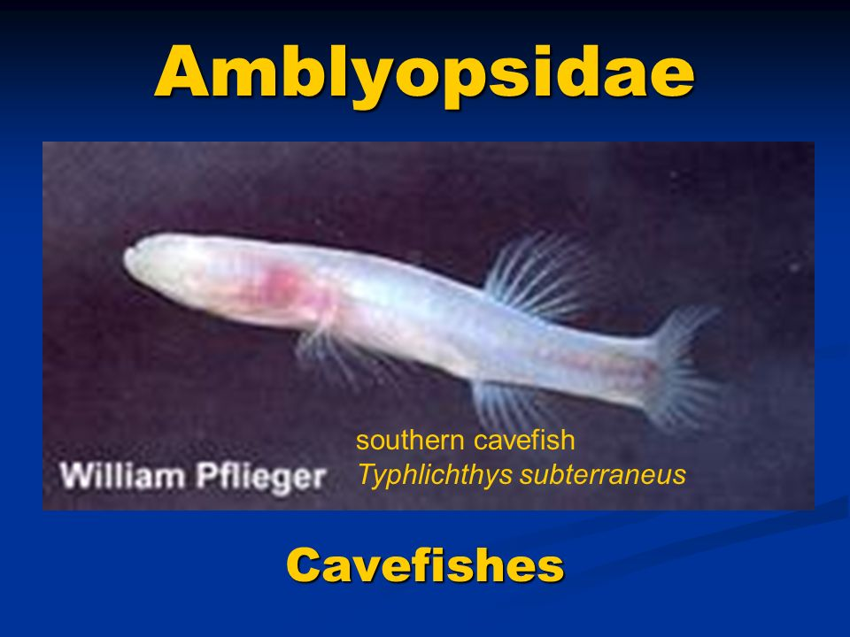 Amblyopsidae southern cavefish Typhlichthys subterraneus Cavefishes
