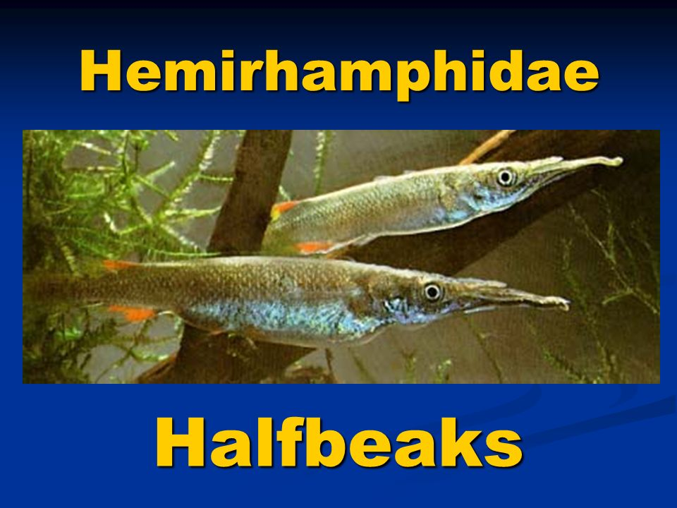 Hemirhamphidae Halfbeaks