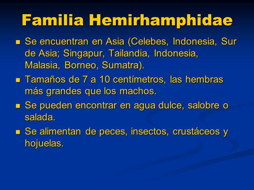 Familia Hemirhamphidae