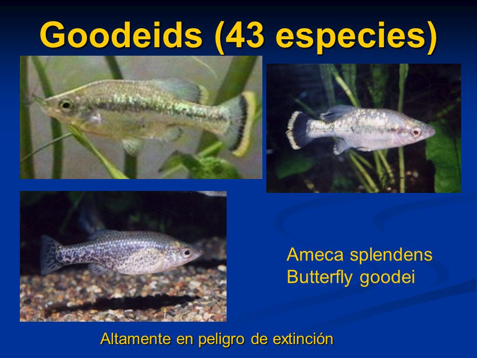 Goodeids (43 especies) Ameca splendens Butterfly goodei
