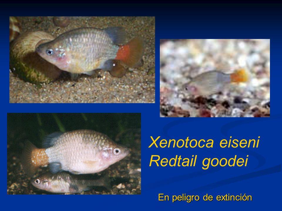 Xenotoca eiseni Redtail goodei