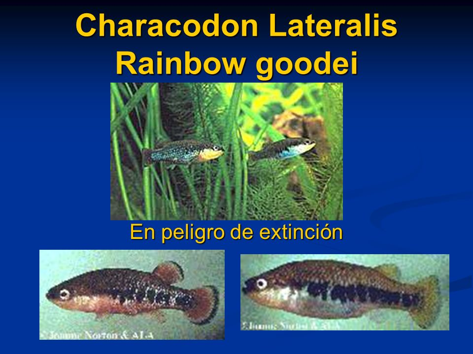 Characodon Lateralis Rainbow goodei