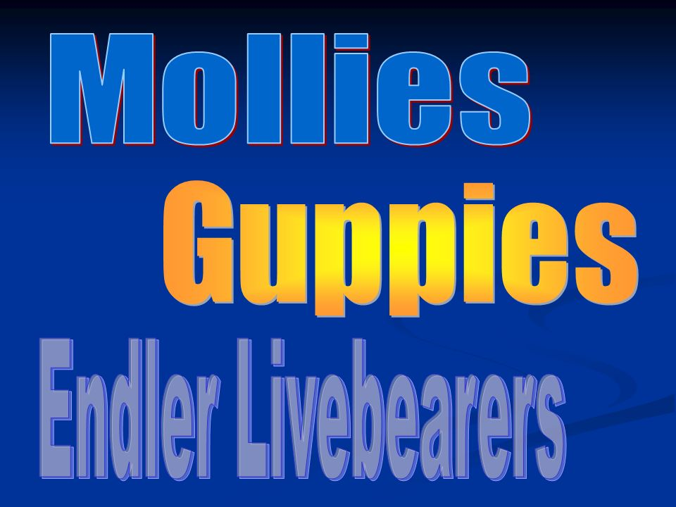 Mollies Guppies Endler Livebearers