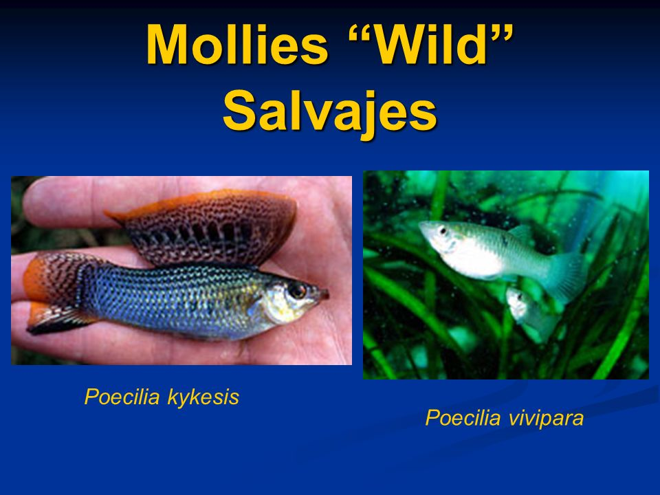 Mollies Wild Salvajes