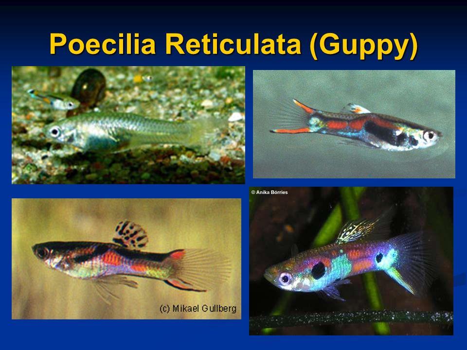Poecilia Reticulata (Guppy)