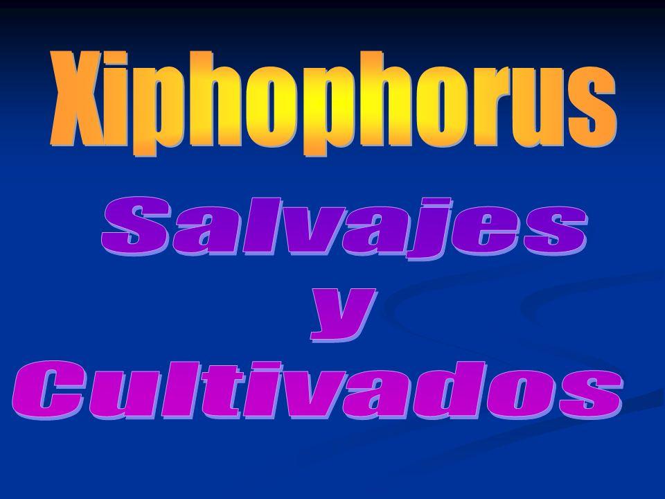 Xiphophorus Salvajes y Cultivados