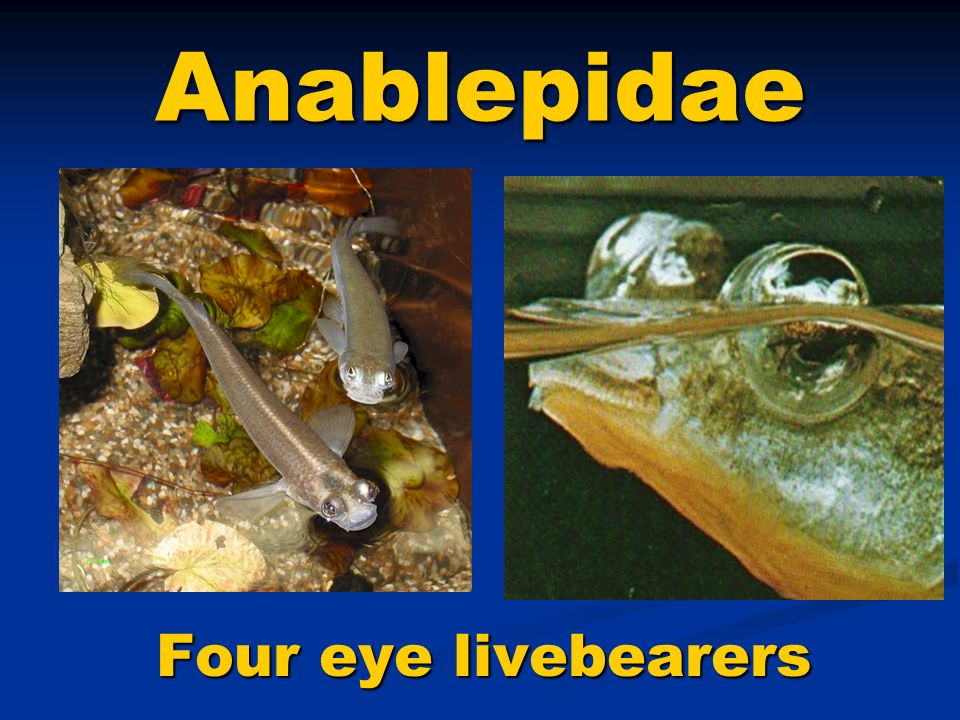 Anablepidae Four eye livebearers