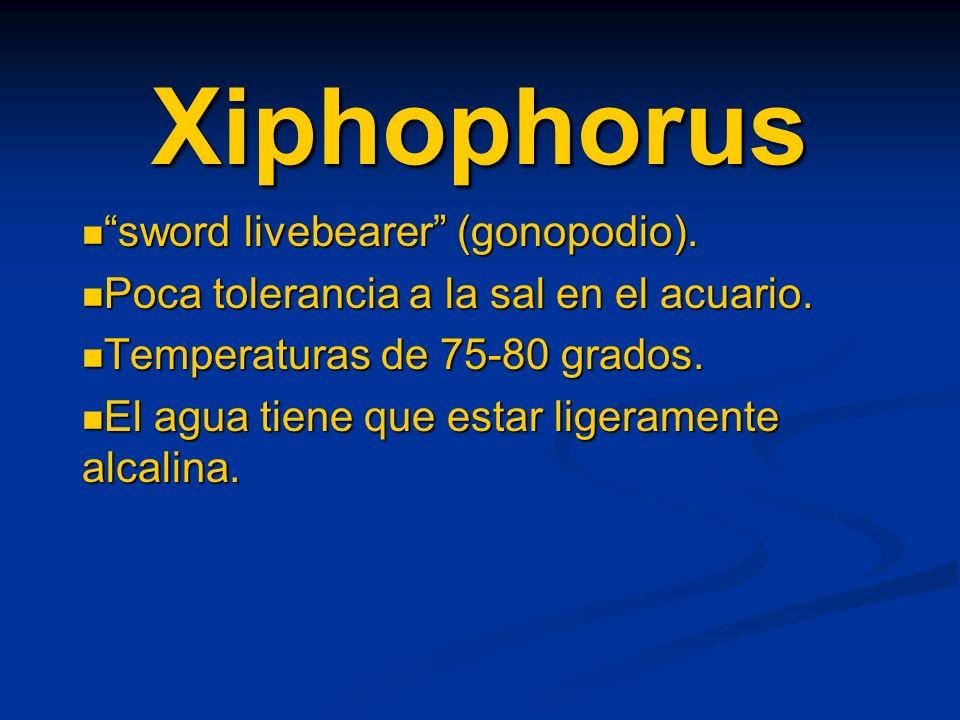 Xiphophorus sword livebearer (gonopodio).