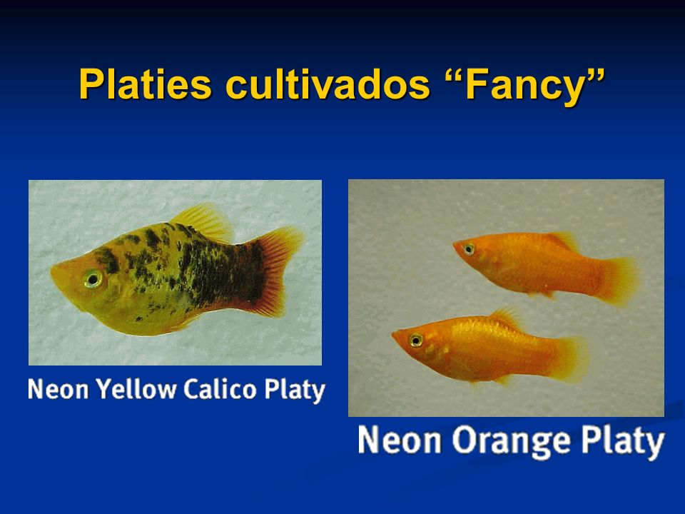 Platies cultivados Fancy