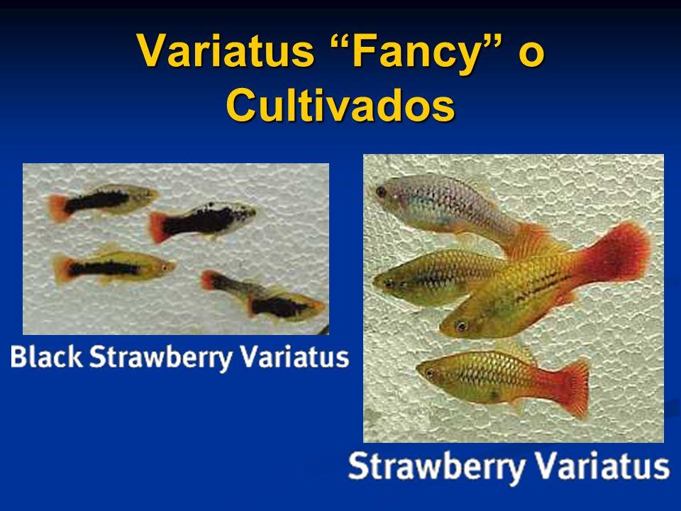 Variatus Fancy o Cultivados