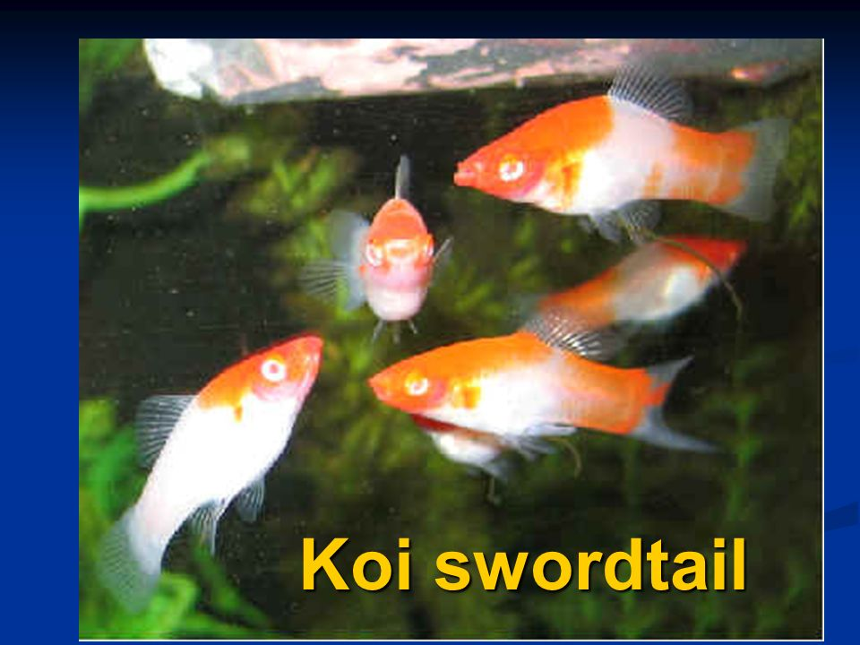Koi swordtail
