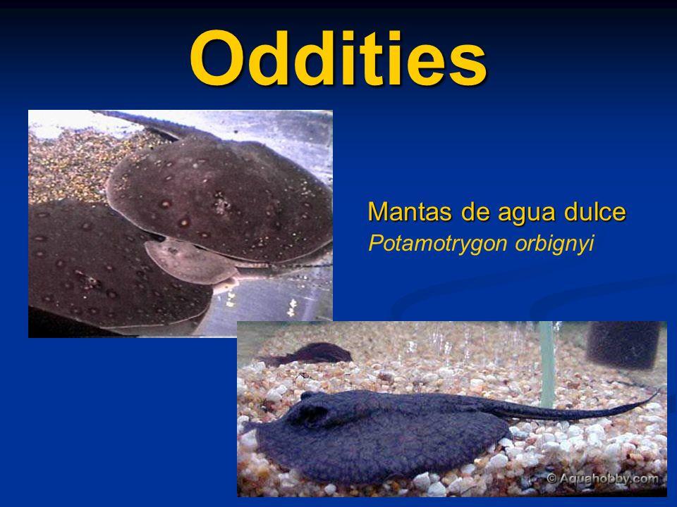 Oddities Mantas de agua dulce Potamotrygon orbignyi