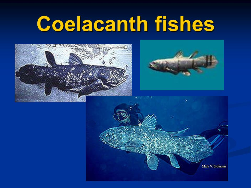 Coelacanth fishes