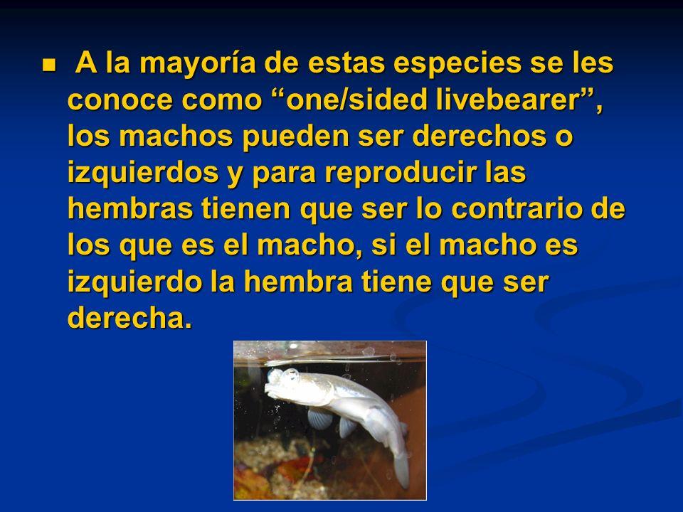A la mayoría de estas especies se les conoce como one/sided livebearer , los machos pueden ser derechos o izquierdos y para reproducir las hembras tienen que ser lo contrario de los que es el macho, si el macho es izquierdo la hembra tiene que ser derecha.