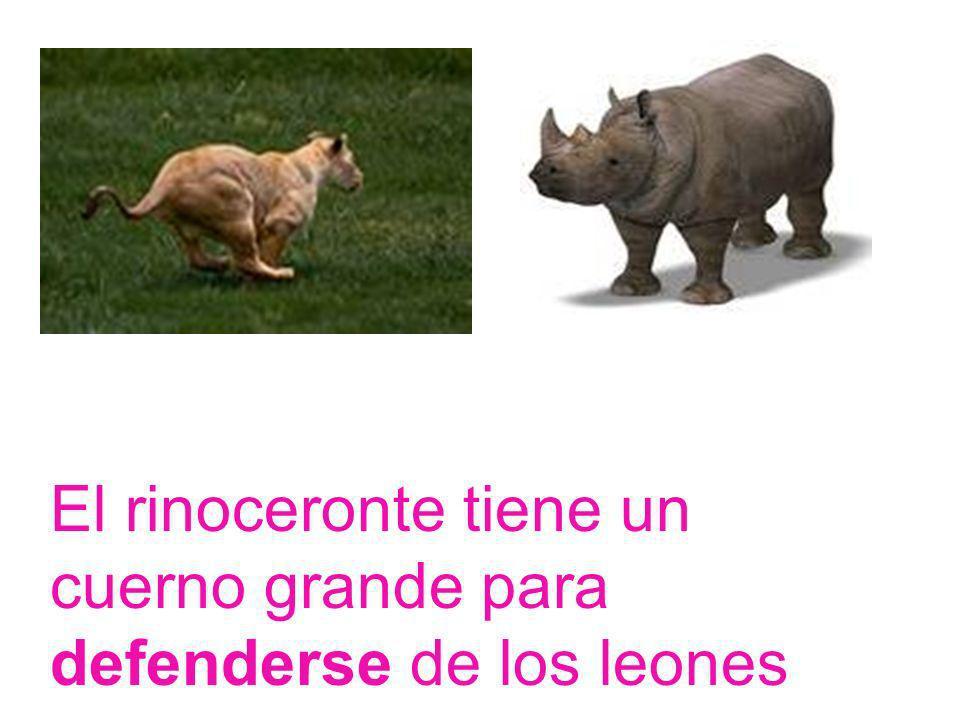 El rinoceronte tiene un cuerno grande para defenderse de los leones
