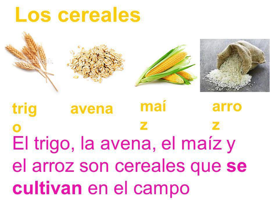 Los cereales maíz. arroz. trigo. avena.