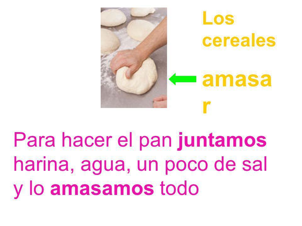 Los cereales amasar Para hacer el pan juntamos harina, agua, un poco de sal y lo amasamos todo