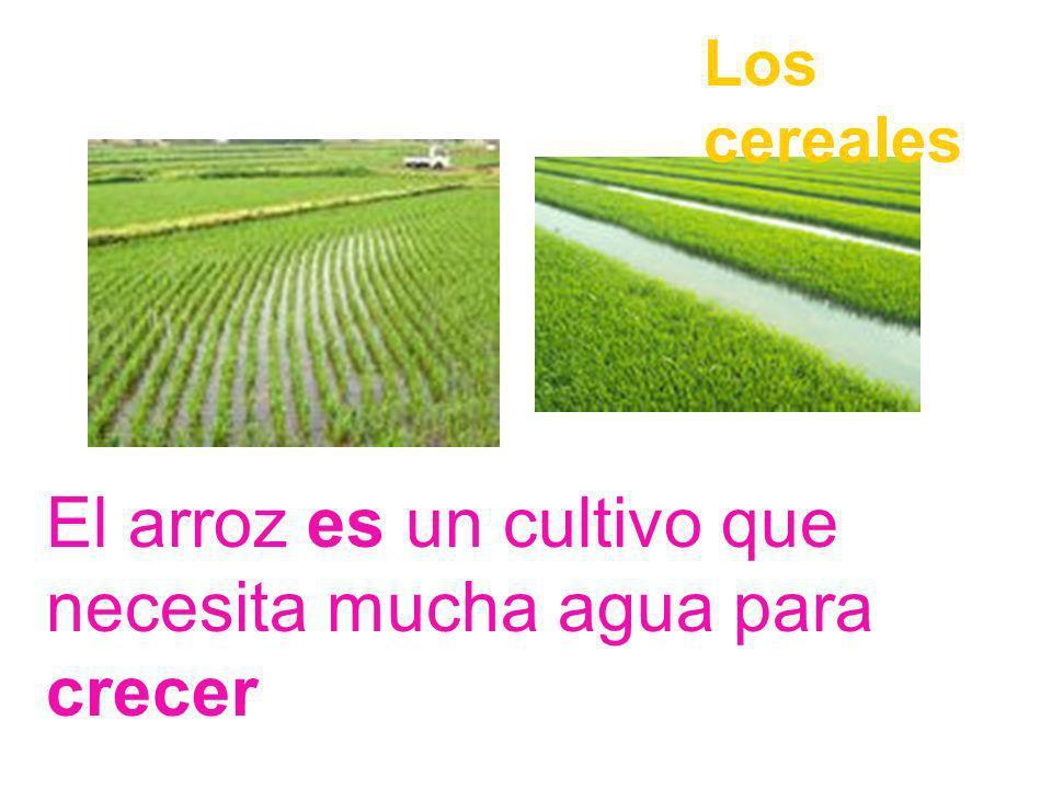 El arroz es un cultivo que necesita mucha agua para crecer