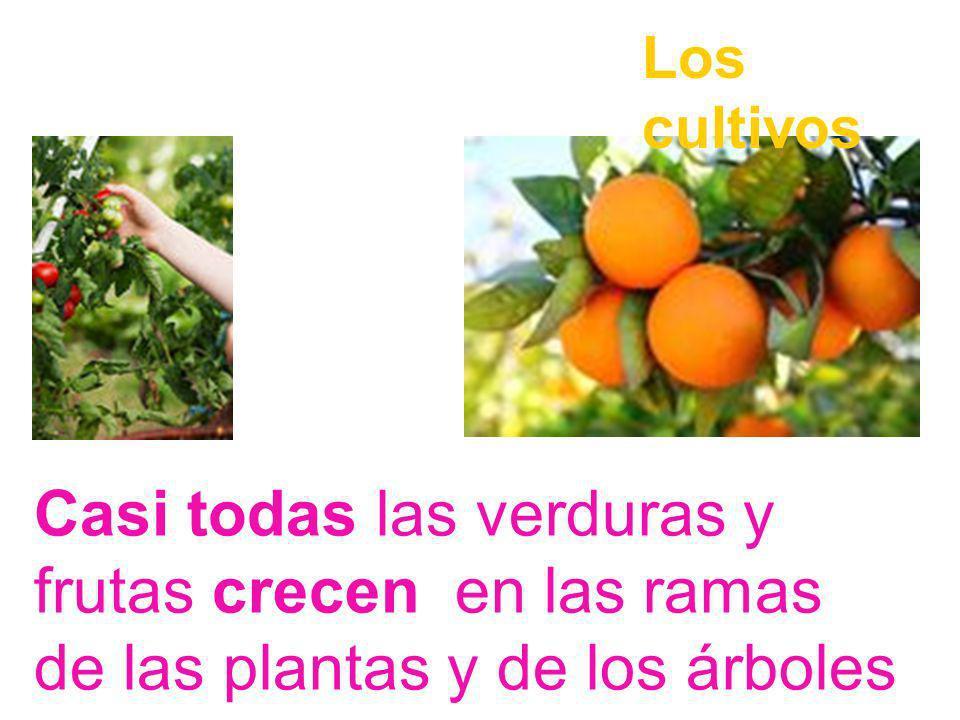Los cultivos Casi todas las verduras y frutas crecen en las ramas de las plantas y de los árboles