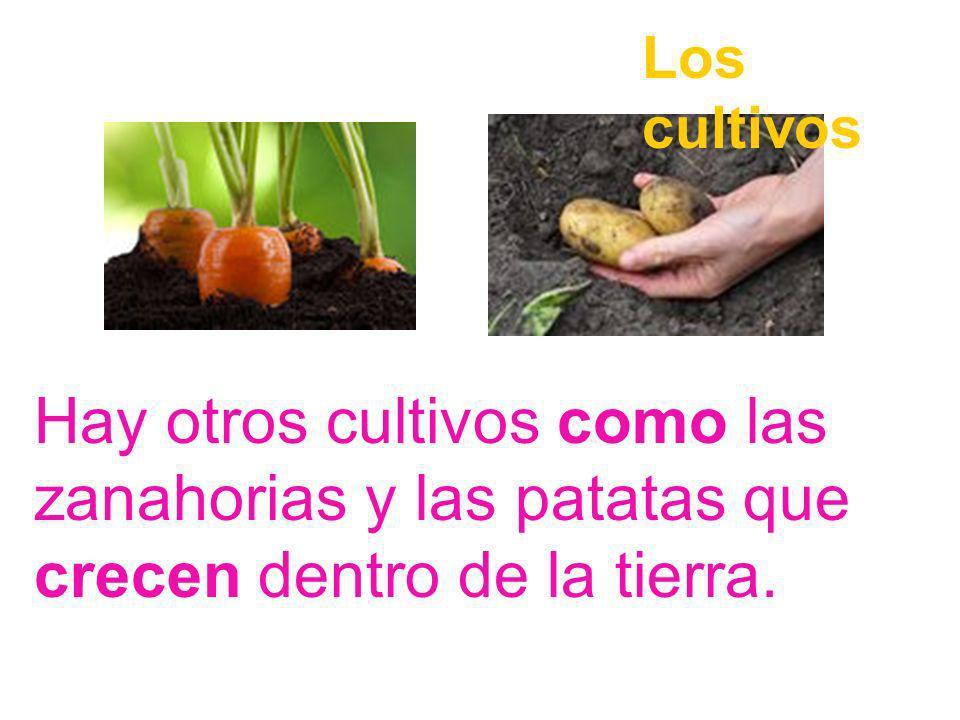 Los cultivos Hay otros cultivos como las zanahorias y las patatas que crecen dentro de la tierra.