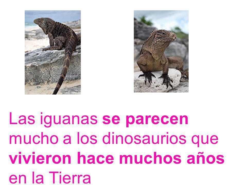 Las iguanas se parecen mucho a los dinosaurios que vivieron hace muchos años en la Tierra