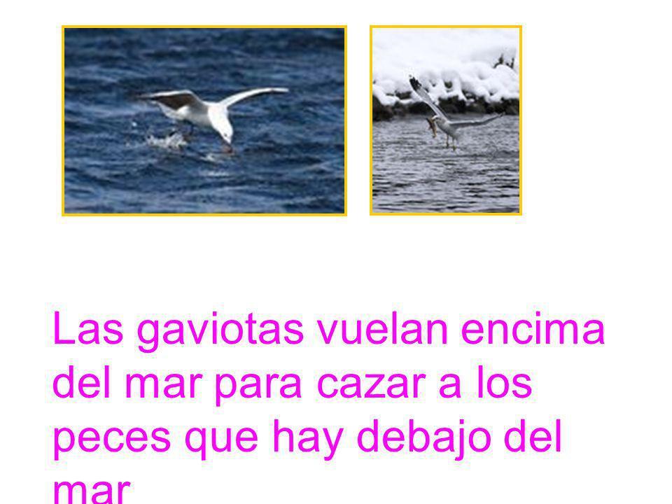 Las gaviotas vuelan encima del mar para cazar a los peces que hay debajo del mar