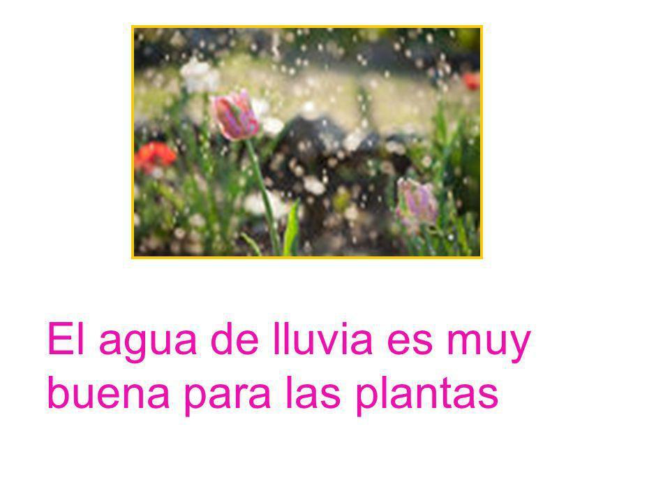 El agua de lluvia es muy buena para las plantas
