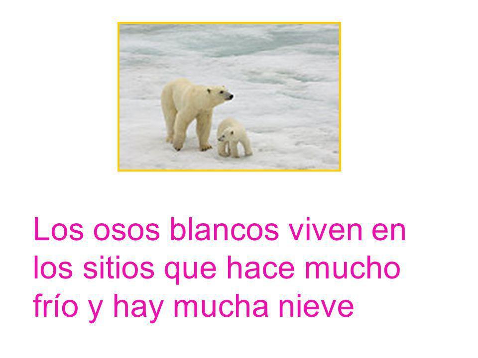 Los osos blancos viven en los sitios que hace mucho frío y hay mucha nieve