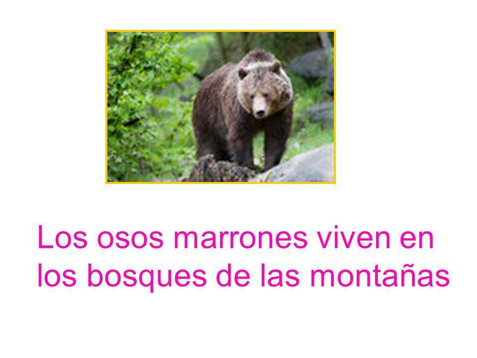 Los osos marrones viven en los bosques de las montañas