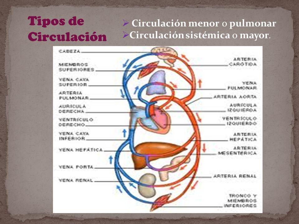 Tipos de Circulación Circulación menor o pulmonar
