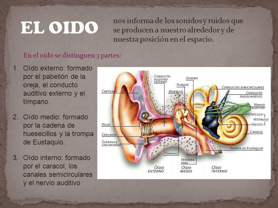 EL OIDO nos informa de los sonidos y ruidos que se producen a nuestro alrededor y de nuestra posición en el espacio.