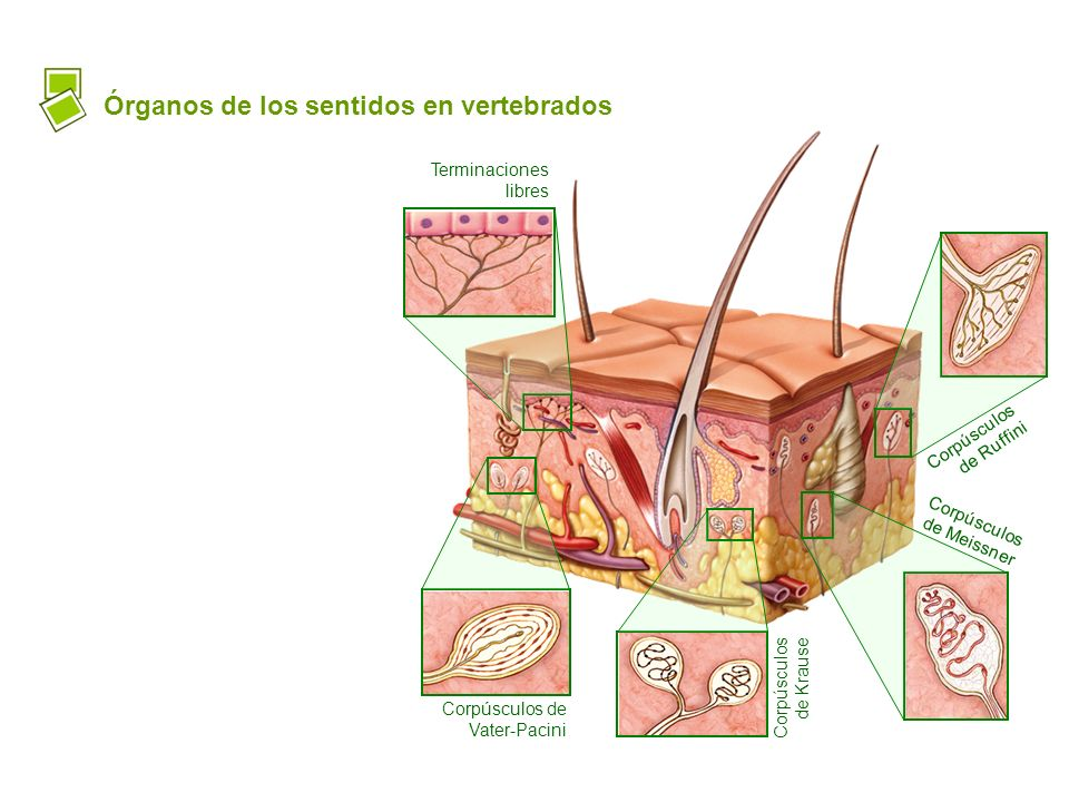 Órganos de los sentidos en vertebrados