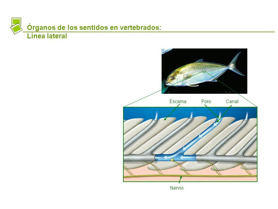 Órganos de los sentidos en vertebrados: Línea lateral
