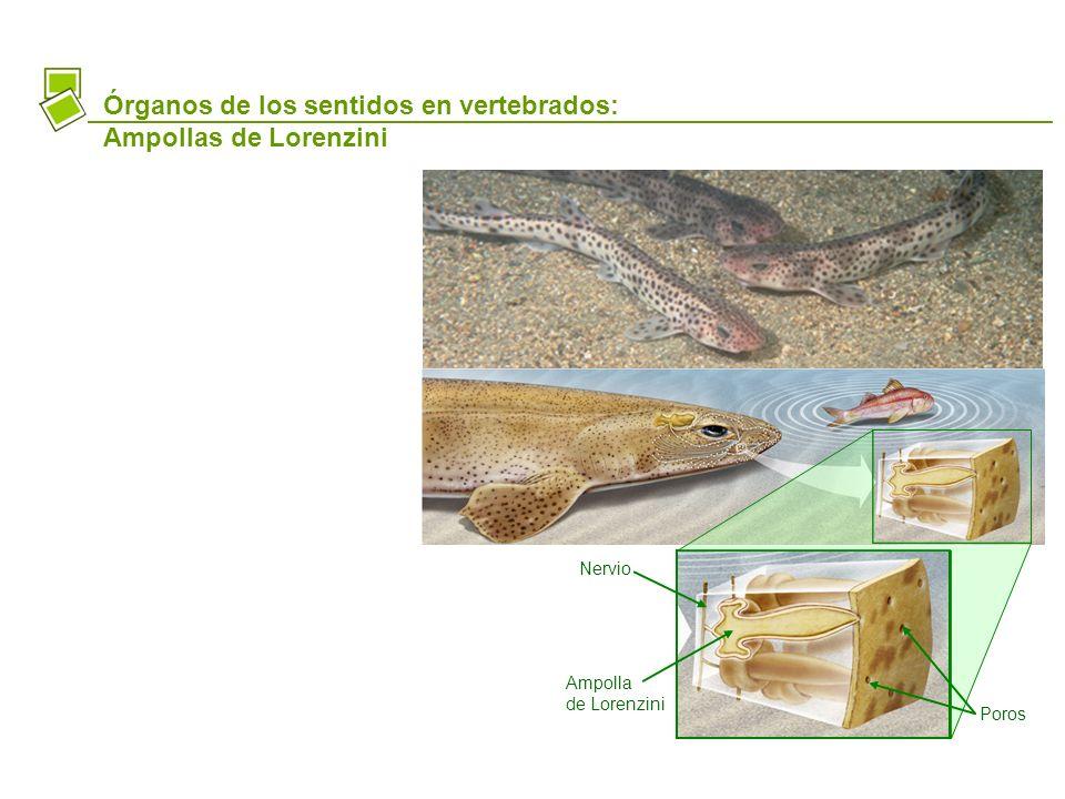 Órganos de los sentidos en vertebrados: Ampollas de Lorenzini