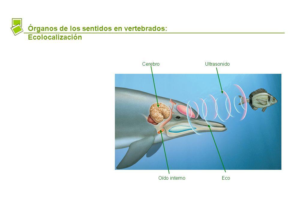 Órganos de los sentidos en vertebrados: Ecolocalización