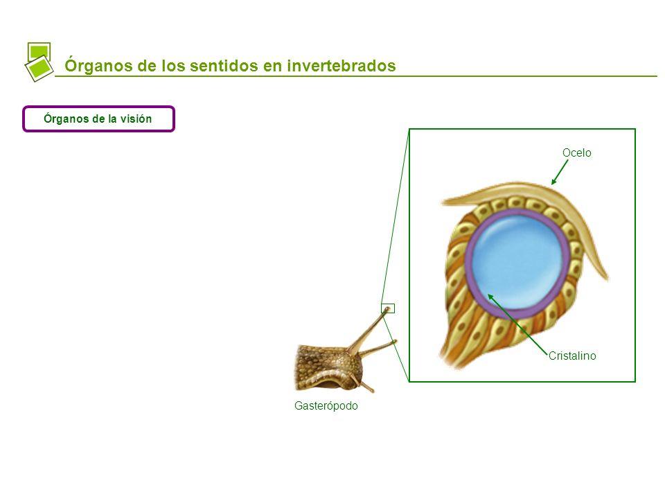 Órganos de los sentidos en invertebrados