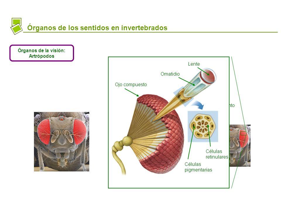Órganos de la visión: Artrópodos