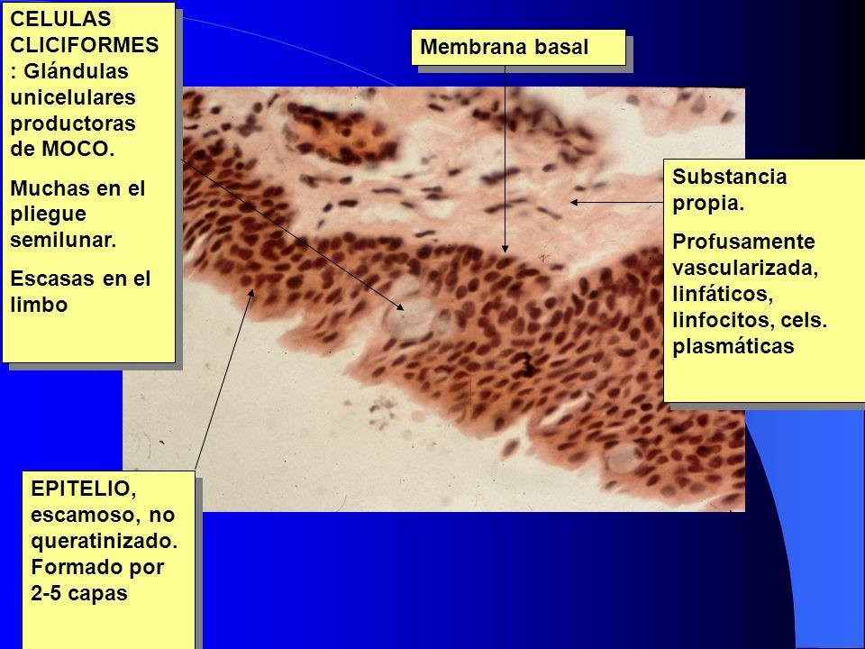 CELULAS CLICIFORMES: Glándulas unicelulares productoras de MOCO.