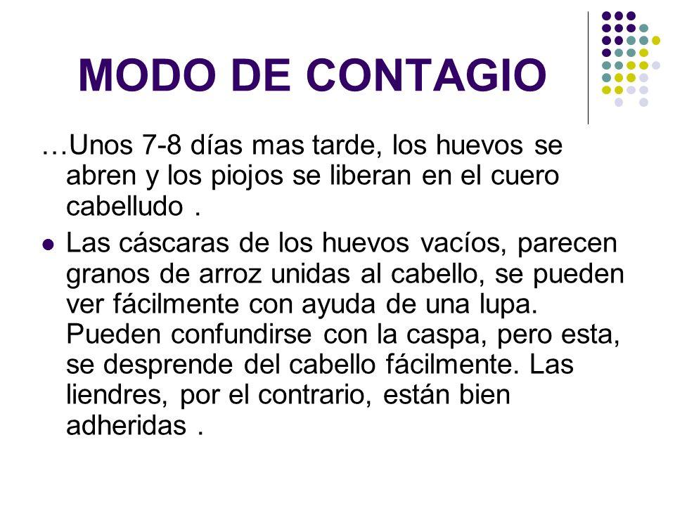 MODO DE CONTAGIO…Unos 7-8 días mas tarde, los huevos se abren y los piojos se liberan en el cuero cabelludo .