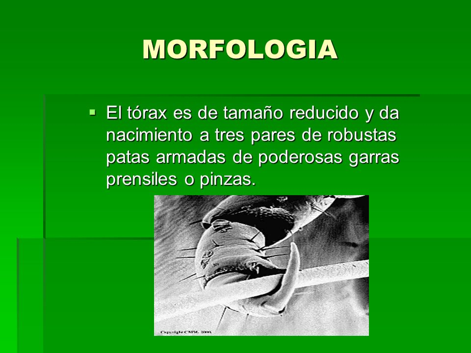 MORFOLOGIA El tórax es de tamaño reducido y da nacimiento a tres pares de robustas patas armadas de poderosas garras prensiles o pinzas.