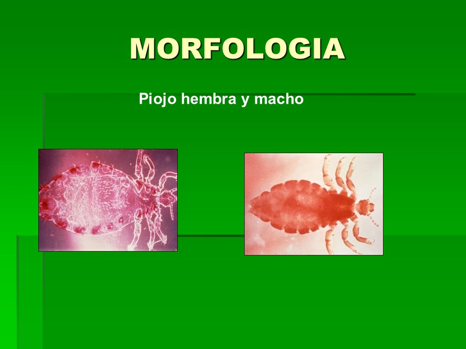 MORFOLOGIA Piojo hembra y macho