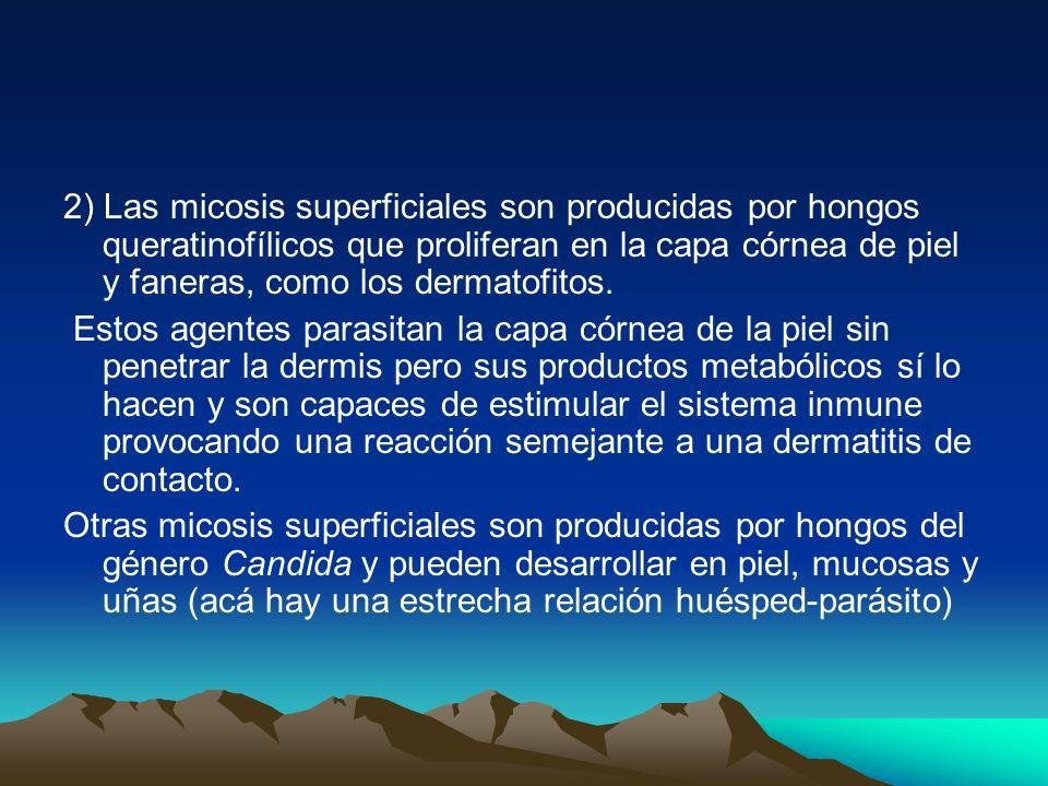 2) Las micosis superficiales son producidas por hongos queratinofílicos que proliferan en la capa córnea de piel y faneras, como los dermatofitos.