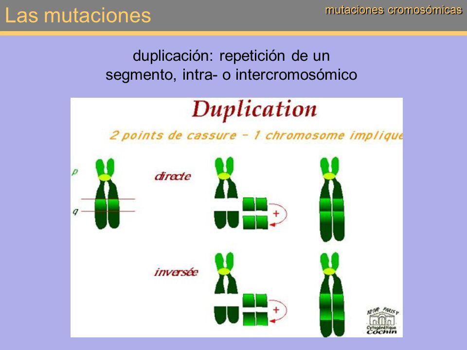duplicación: repetición de un segmento, intra- o intercromosómico