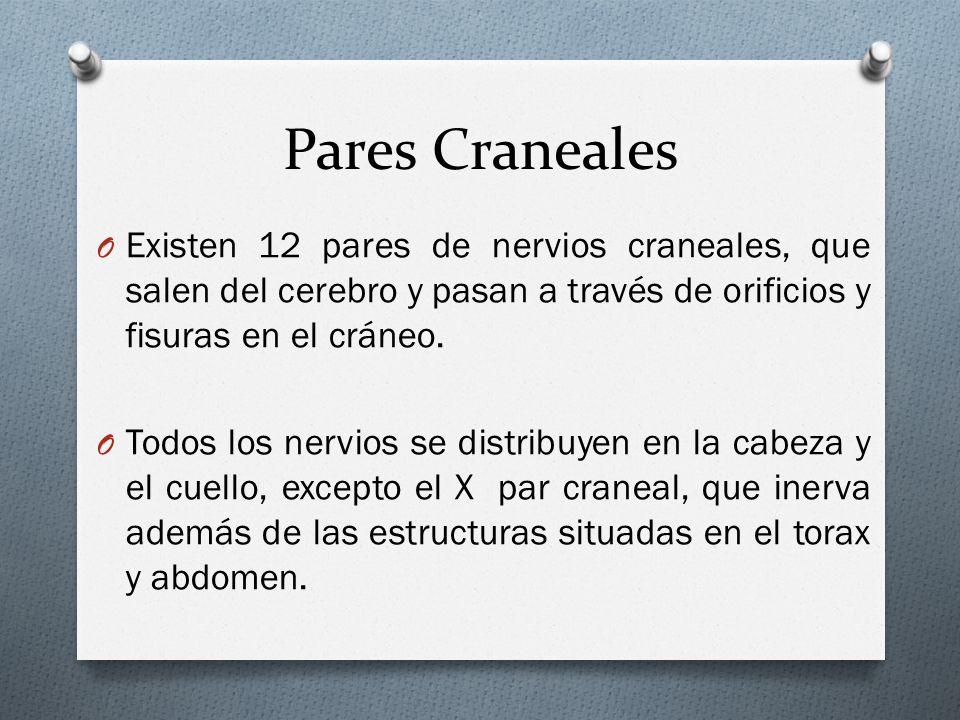 Pares Craneales Existen 12 pares de nervios craneales, que salen del cerebro y pasan a través de orificios y fisuras en el cráneo.