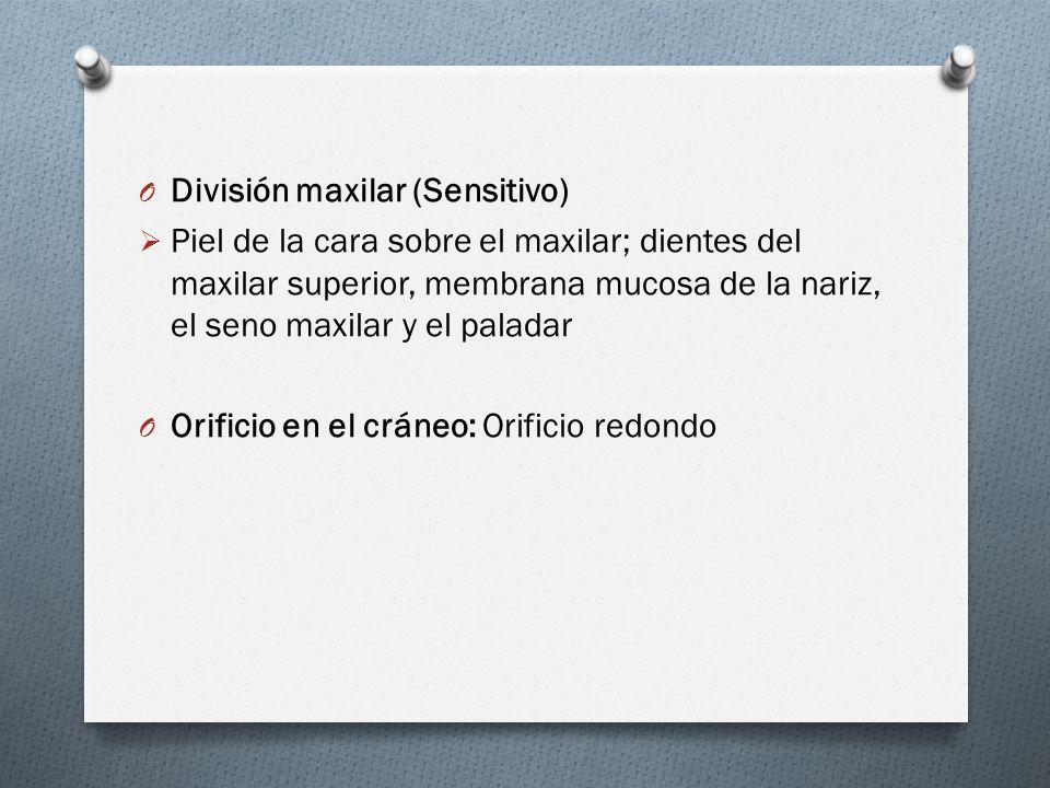 División maxilar (Sensitivo)