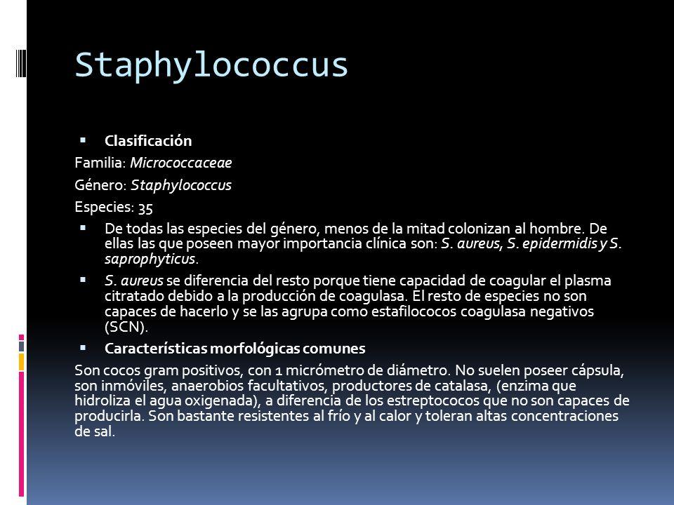Staphylococcus Clasificación Familia: Micrococcaceae