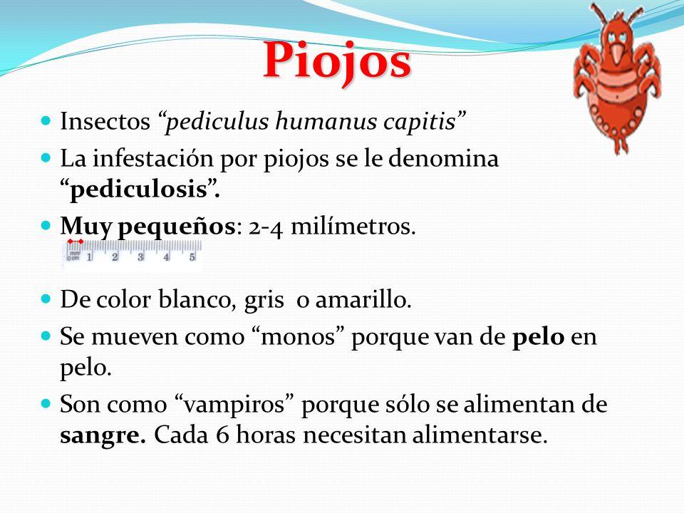 Piojos Insectos pediculus humanus capitis .